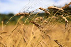 Karakılcık Buğdayı